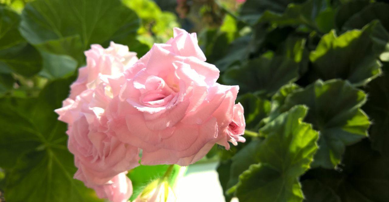 Милфилд роуз пеларгония