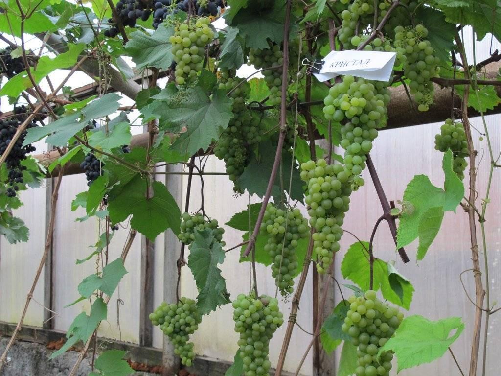 Как посадить виноград на Урале весной в открытом грунте, выращивание и уход