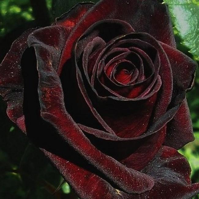Роза дезире – прелестница в розовой вуали