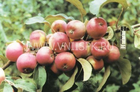 Сорт яблони осенняя радость: описание и подробная характеристика, правила выращивания