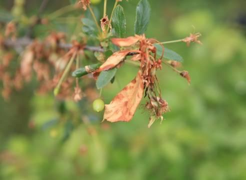 Как бороться с болезнями войлочной вишни