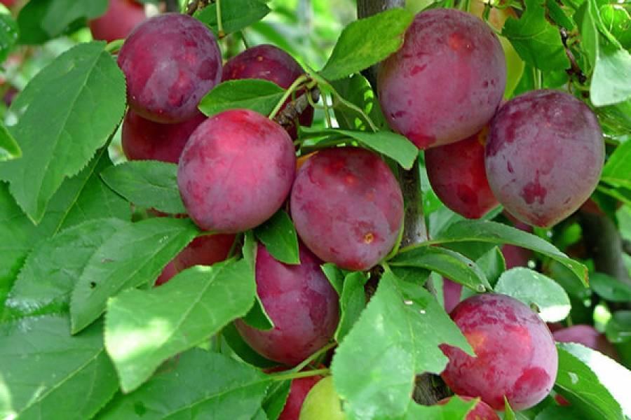 О сливе этюд: описание сорта, агротехника выращивания, особенности ухода