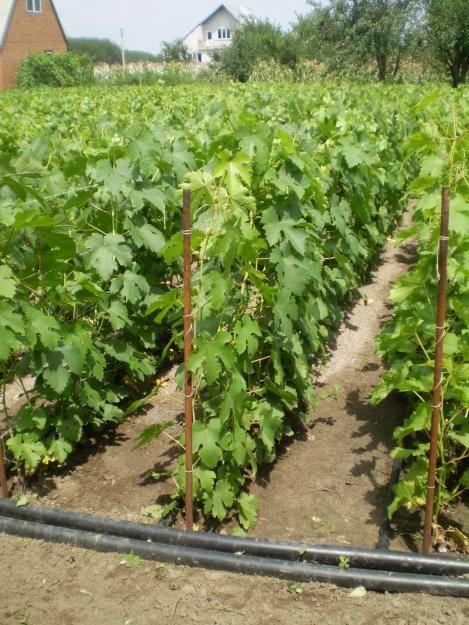 Как сажать виноград весной: пошаговая инструкция, на каком расстоянии