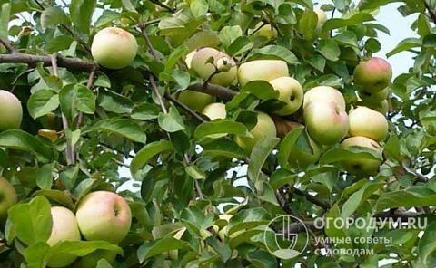 Яблоня имрус: особенности сорта и ухода