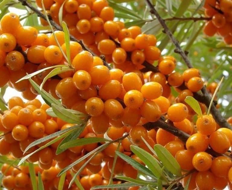 Облепиха: фото растения и ягод