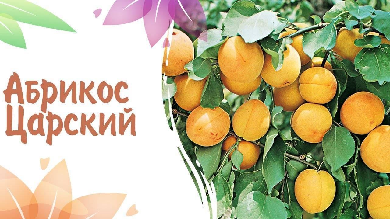 Описание царского абрикоса