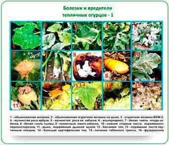 Болезни огурцов: описание с фото, как бороться