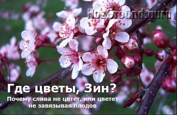 Почему нет цветения у сливы