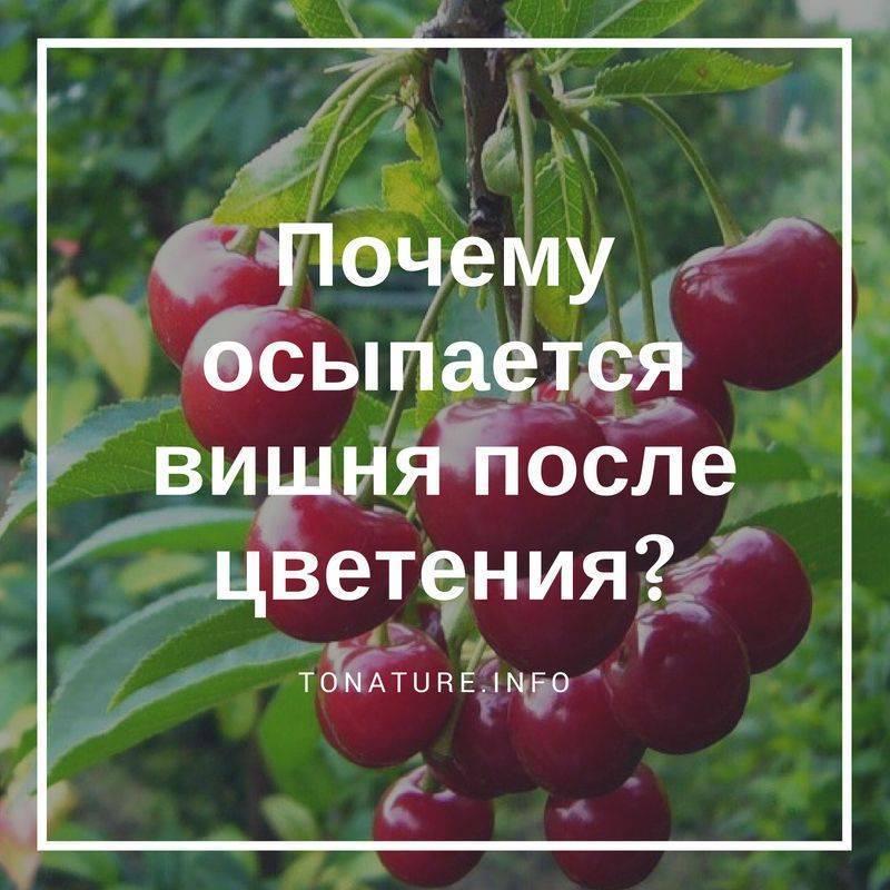 Не плодоносит вишня — возможные причины