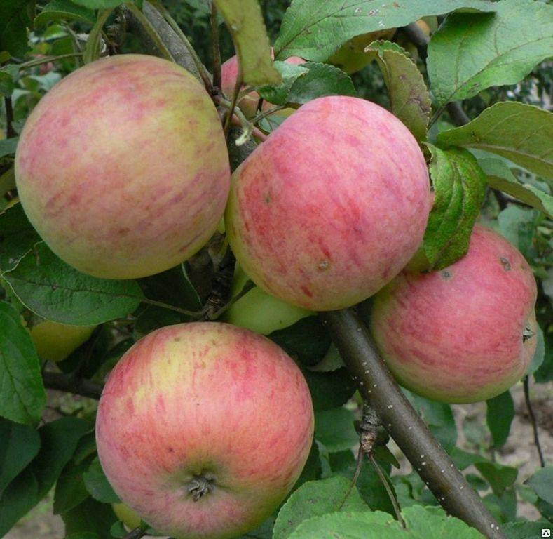 О яблоне Уральское розовое: описание сорта, характеристики, агротехника
