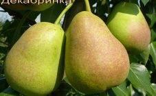 Описание и выращивание азиатского сорта груши киффер