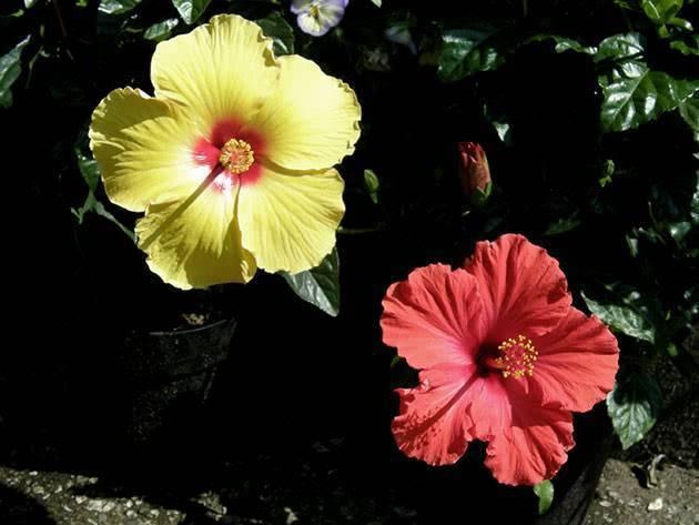 Китайская роза: выращивание из семян и уход