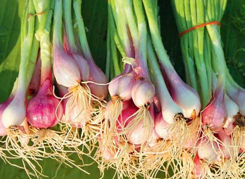 Все о выращивании лука Шалот: посев и уход за растением, условия для роста
