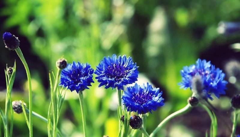 Цветок василек – как выглядит, какого цвета бывает, где растет, основные виды, легенда растения