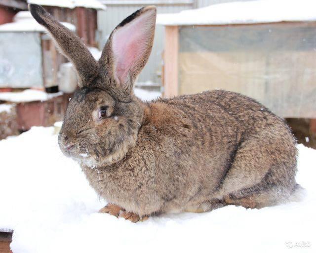 Кролики великаны: разведение, выращивание, кормление, покупка