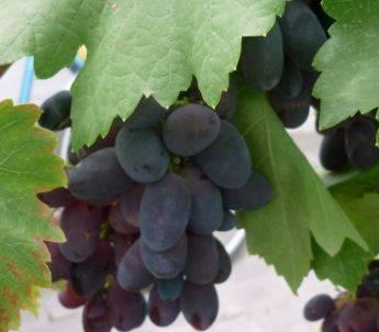 Как ухаживать за виноградом во второй и последующие годы