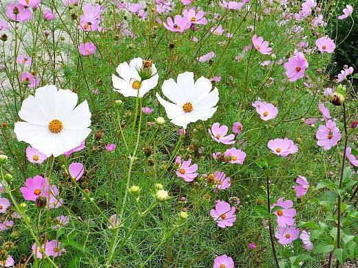 Космея: посадка и уход за цветком в открытом грунте, выращивание из семян