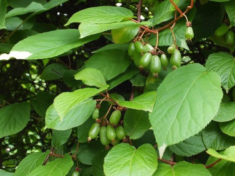 Ягода актинидия коломикта: описание и сорта на фото, выращивание лианы и уход за ней