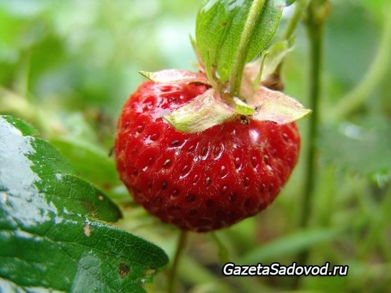 Размножение клубники усами, делением и семенами – раскрываем секреты