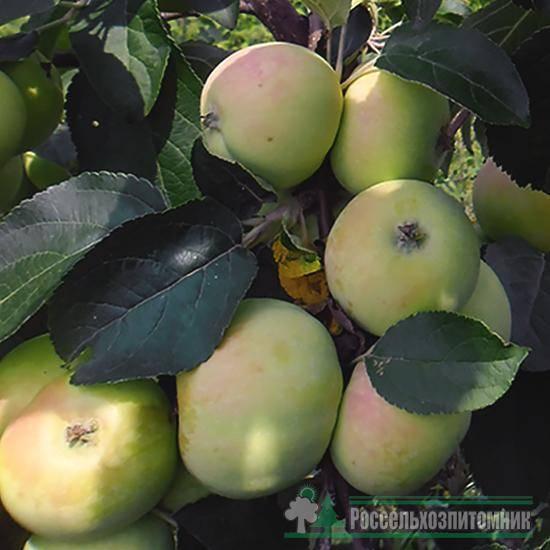 Сорт яблони солнцедар: фото, отзывы, описание, характеристики