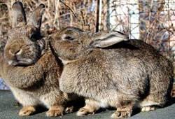 Как правильно разделать тушку кролика в домашних условиях + видео