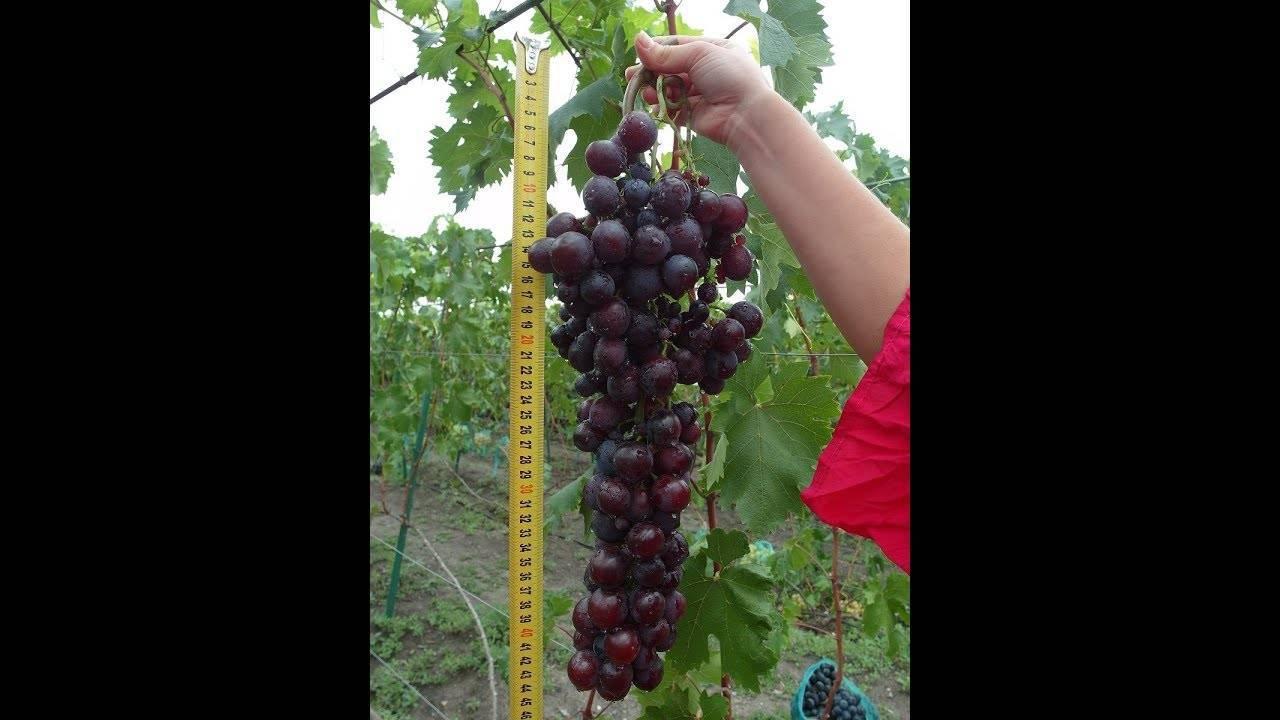Виноград аркадия — особенности сорта, посадка  и уход