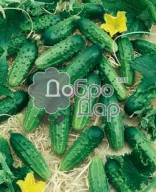Описание и характеристика огурцов сорта мурашка f1