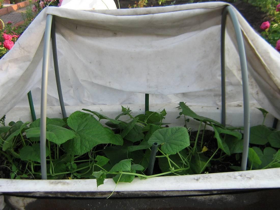 Выращивание огурцов в открытом грунте — сложное и приятное занятие