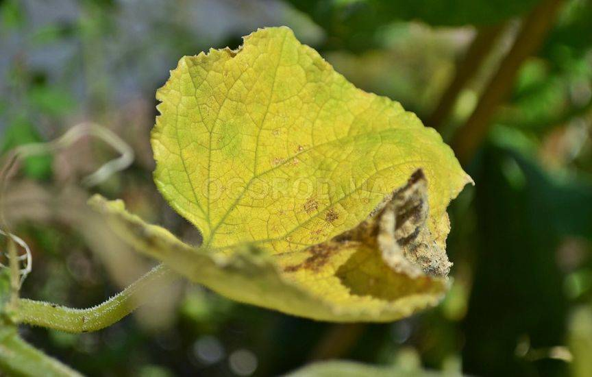 Чем обрабатывать огурцы если желтеют листья
