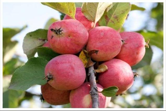 О яблоне Пепин Шафранный, описание сорта, характеристика, агротехника