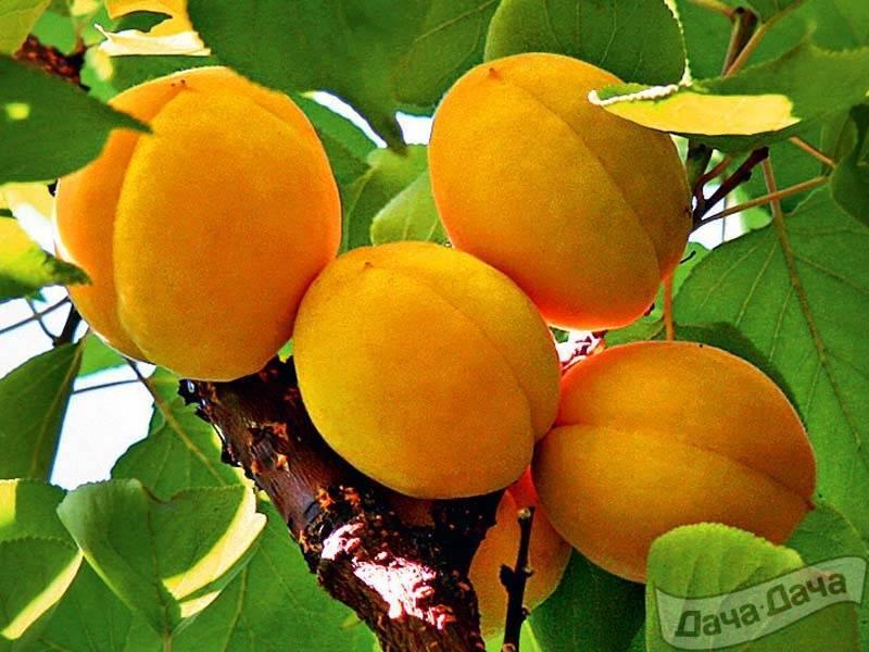 """Самоплодный - поиск по виду """"абрикос"""". - фгбну внииспк"""