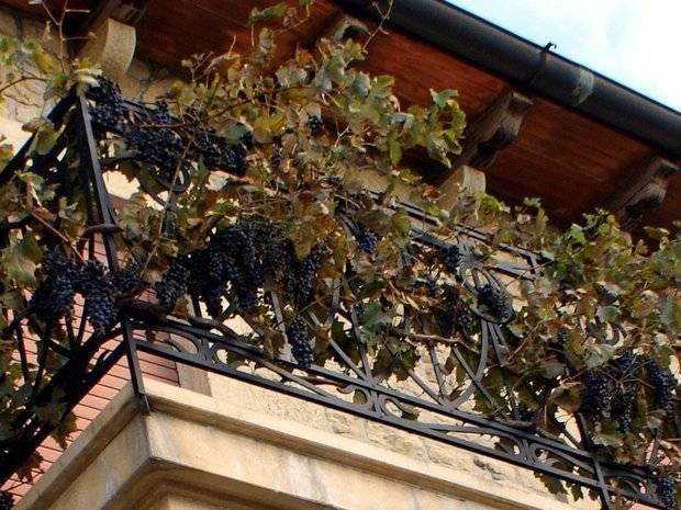 Виноград на балконе