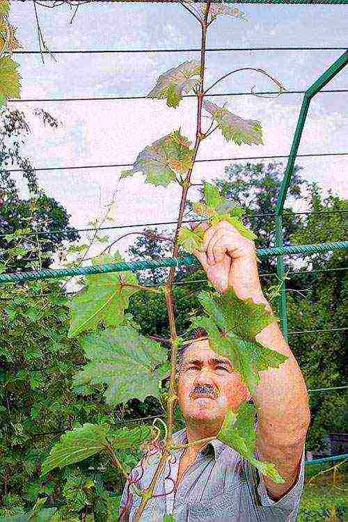 Как подвязать виноград на даче — ягоды грибы