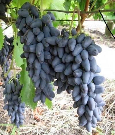 Виноград памяти негруля: описание сорта и фото, характеристики и особенности, болезни и вредители