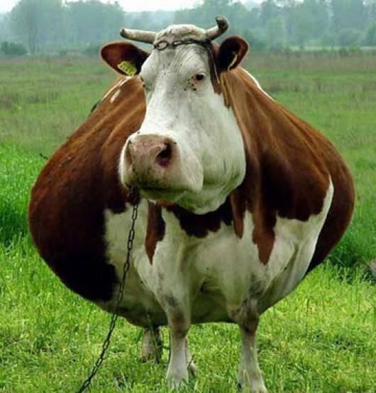 Как определить стельность коровы в домашних условиях, индекс осеменения коров