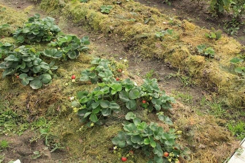 Мульчирование клубники травой и опилками — как не навредить растению