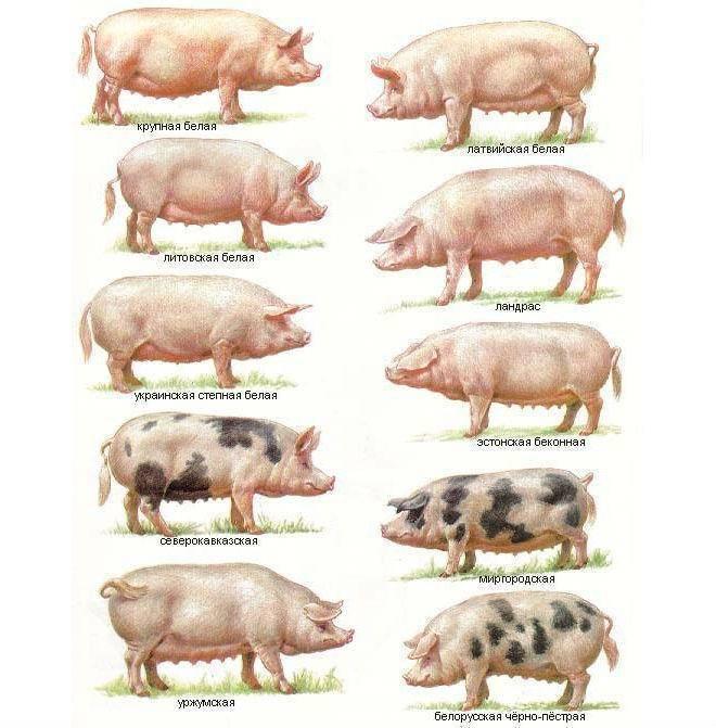 эстонская беконная порода свиней фото наличии небольших повреждений