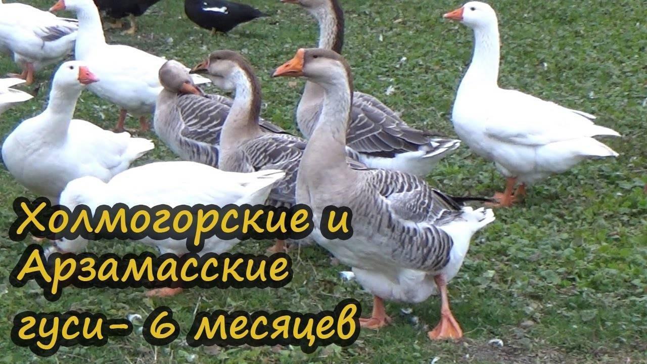 Крупные серые гуси (украинские): описание и характеристика породы