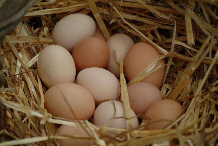Сколько дней курица высиживает яйца до цыплёнка и как сидеть