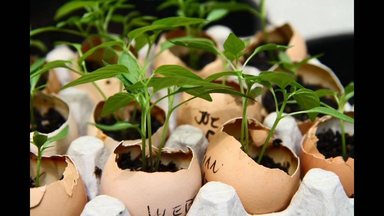 Яичная скорлупа в огороде: как правильно ее использовать