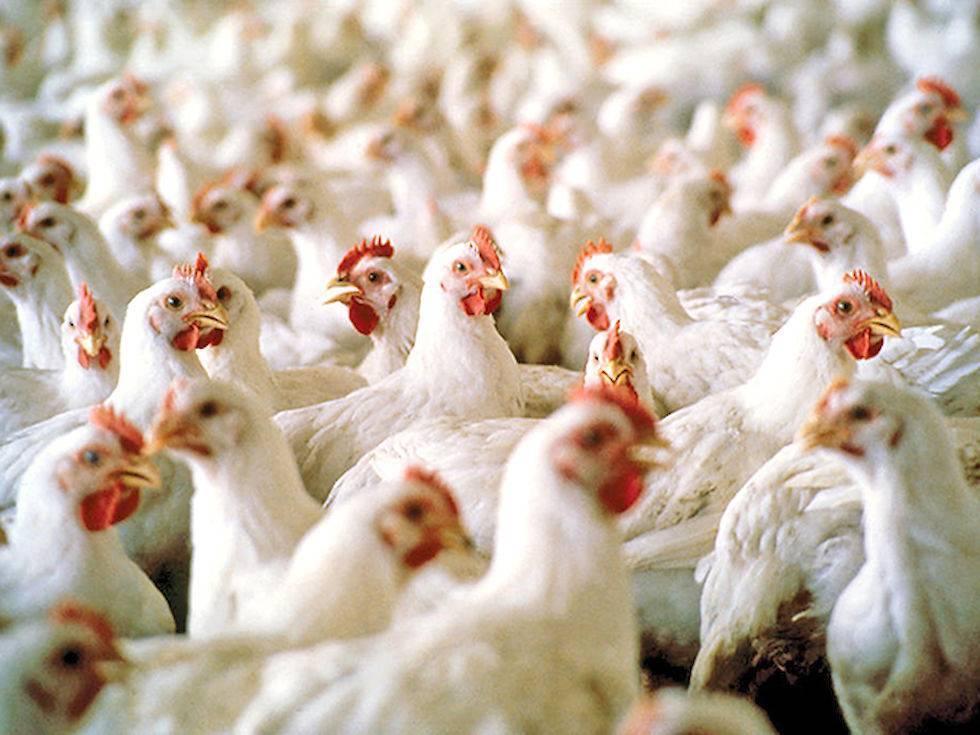 Кормление цыплят бройлеров с первых дней жизни