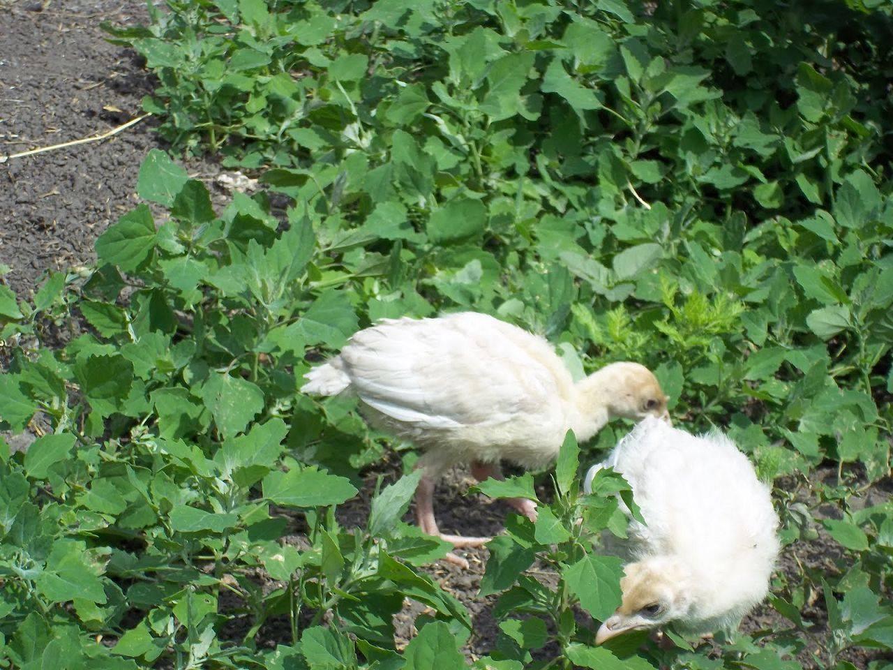 Какой травой можно кормить кур несушек и бройлеров