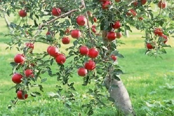 Яблоня конфетное — описание, правила посадки и ухода, особенности сорта