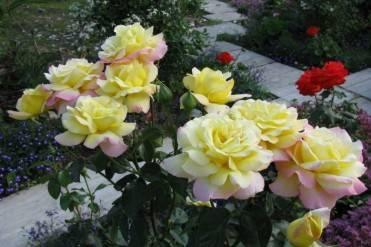 Роза глория дей: описание и характеристика сорта