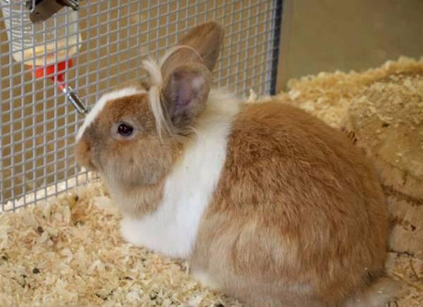 Кокцидиоз у кроликов: симптомы и лечение, фото, видео