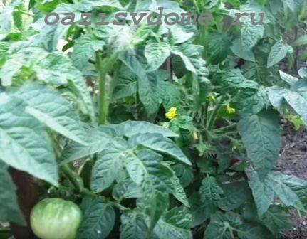 Чем подкармливать помидоры в открытом грунте для быстрого роста плодов