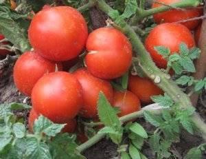 Фото, видео, отзывы, описание, характеристика, урожайность сорта томата «ямал 200»