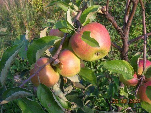 Особенности яблони братчуд