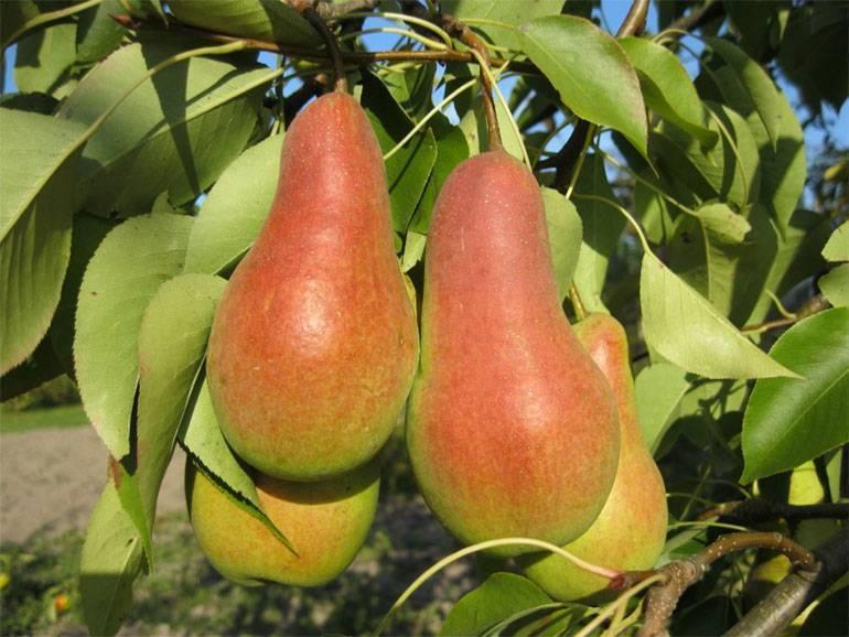 Какие особенности выращивания груши талгарская красавица?