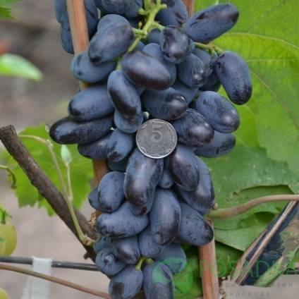 Виноград с ранним сроком созревания байконур. внешние признаки, плюсы и минусы, высадка и уход